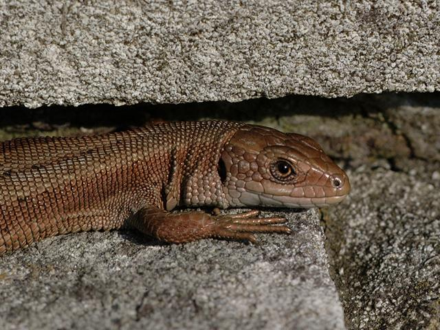 Viviparous Lizard basking on gravestone